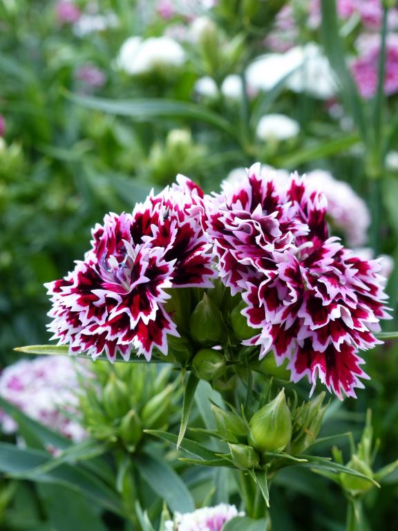 Dianthus barbatus x chinensis, 'Kensington Mix' Seeds £1 ...