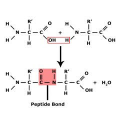 Peptide Structure Diagram Simple 4 Way Round Trailer Connector Wiring Reazioni Di Disidratazione Chimicamo Org
