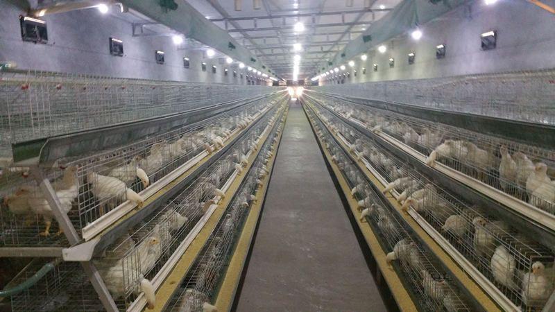 Hightop 174 Chicken Cage Chicken Farm Equipment Supplies