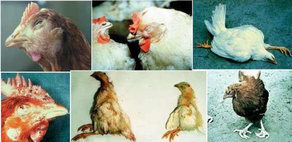 Bird Diseases in Poultry