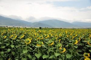 Bulgaria fields