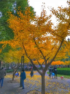 China, Shanghai, Ginko Tree, December