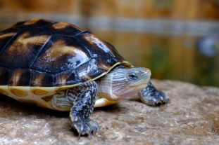erleuchtete Schildkröte in Yuantong, Kunming