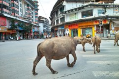 Wasserbüffel in der Innenstadt