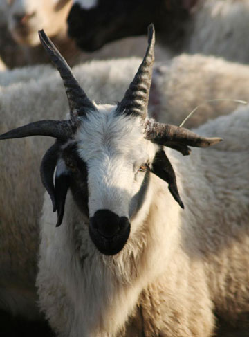 six-horned goat (borrowed image)