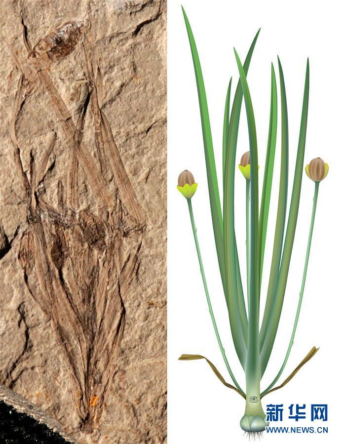 Científicos chinos descubren fósil de planta angiosperma herbácea de Jurásico