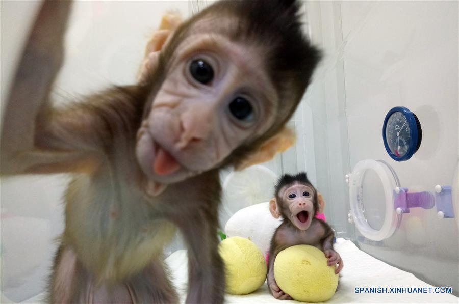 China clona primeros macacos del mundo con método usado en oveja Dolly