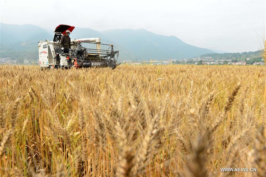 Baja ligeramente cosecha veraniega de cereales de China