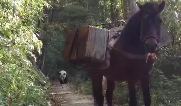 Aldeano se encuentra con panda gigante en estado salvaje