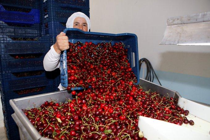 Países productores compiten por el mercado chino de las cerezas