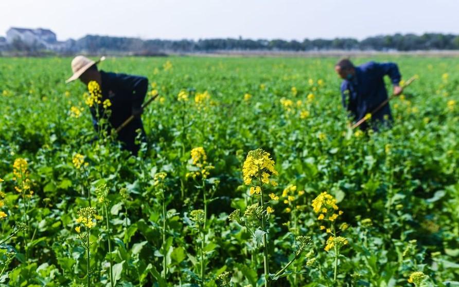 Xi enfatiza importancia de agricultura para control epidémico y desarrollo socioeconómico