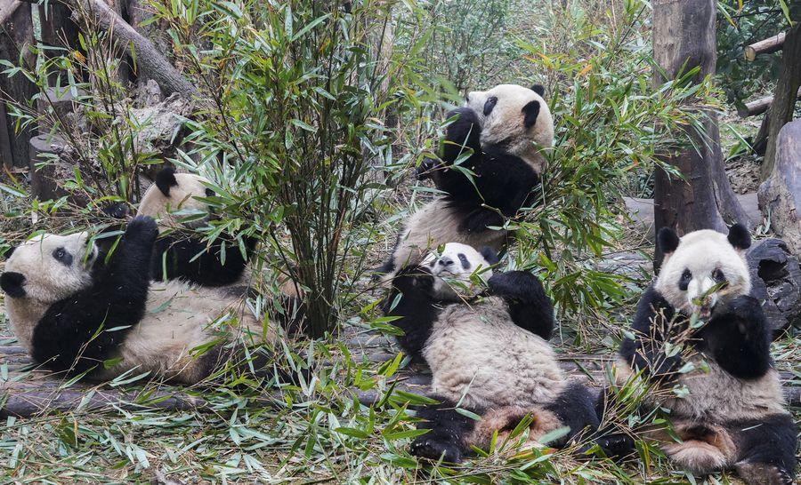 La base de pandas gigantes de China reabre al público