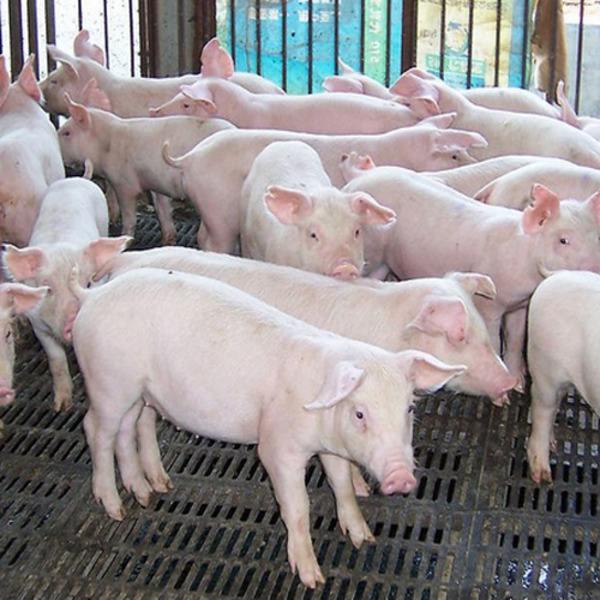 China promete esfuerzos para restablecer más producción de cerdo