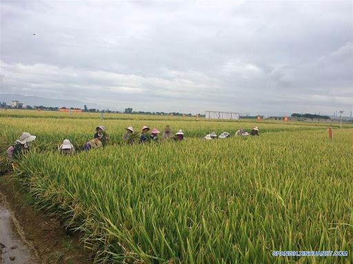 Expertos afirman que en provincia oriental china está el lugar de cultivo de arroz más antiguo del mundo