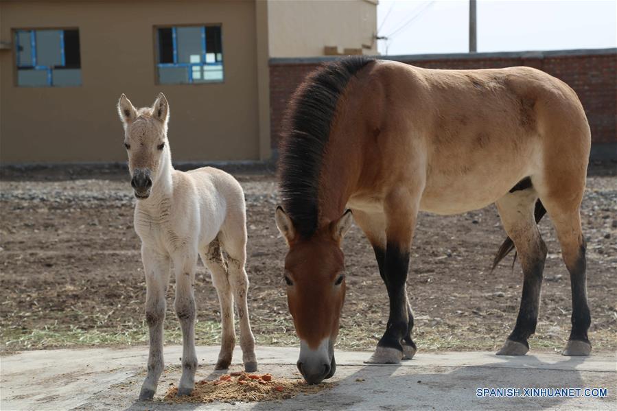 Centro chino de cría ayuda caballos en peligro de extinción a pasar invierno