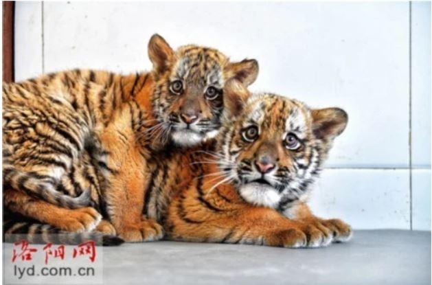 Nacen en zoológico de Henan gemelos de tigre del sur de China
