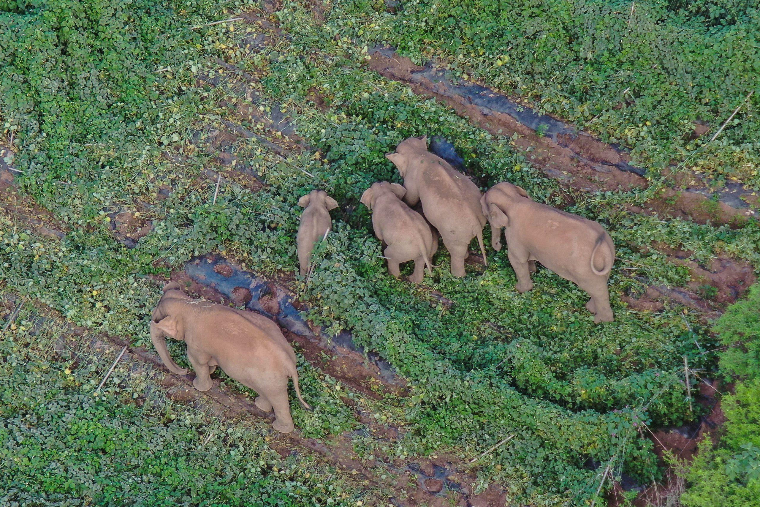 Elefantes migrantes de China se mueven hacia el suroeste