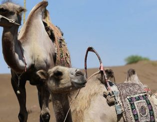 Camel Milk Powder - Miracle Superfood?