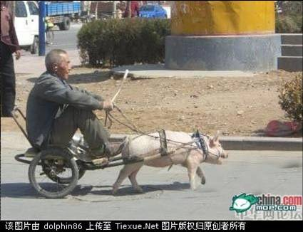 pig cart, china funny pictures