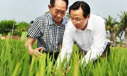 La recherche sur le riz avance rapidement