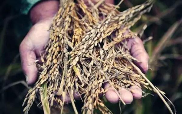 La Chine détient la moitié des stocks mondiaux de céréales et de riz