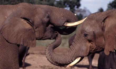 WWF – La Chine s'est engagée à fermer son marché domestique légal d'ivoire !