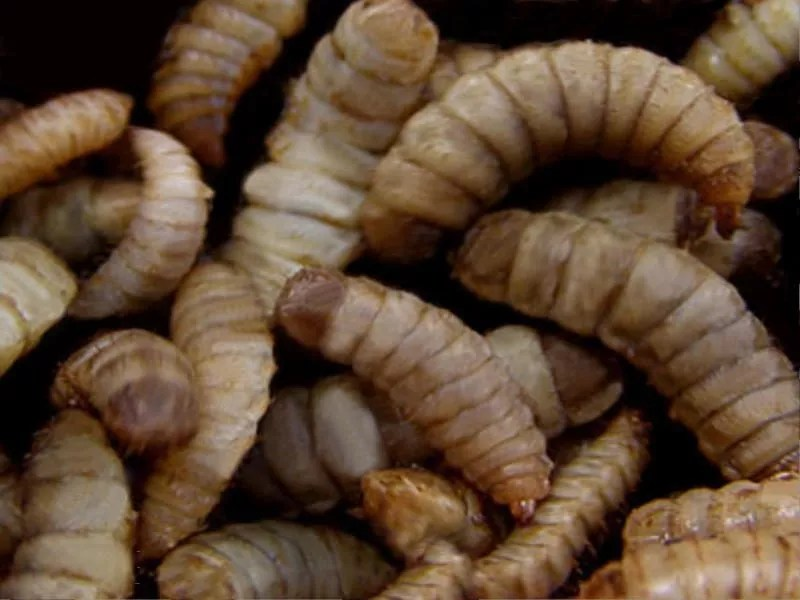Des « asticots gloutons » contre les déchets alimentaires