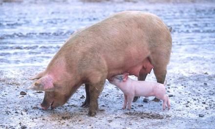 Les éleveurs de plus en plus inquiets de la peste porcine