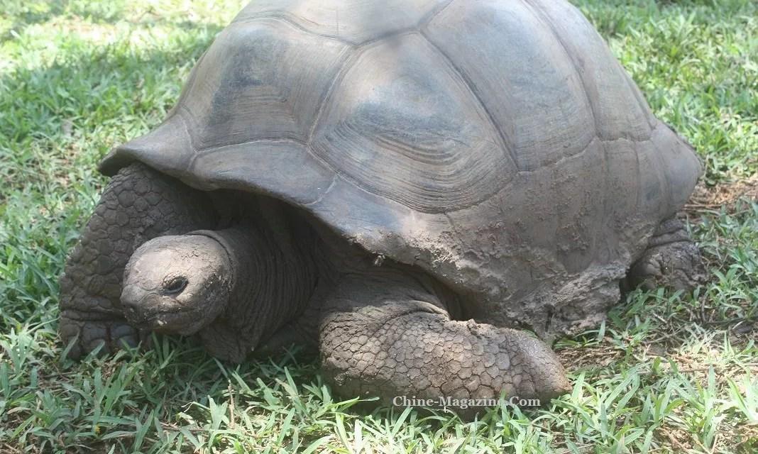 Nouvelle arrestation de chinois dans un trafic de tortue