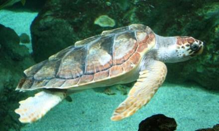 Tortues de mer : protéger et sensibiliser d'urgence