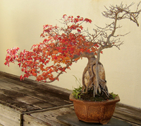 Trident Maple Bonsai Tree