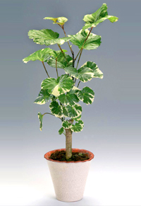 ~Susan Brian & Balfour Aralia Bonsai Tree - Polyscias balfouriana