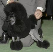 CPTA - Poodle (Toy) 玩具貴婦犬