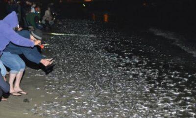 3到9月南加沙滩最美月光奇观:洛杉矶小银鱼抢滩!