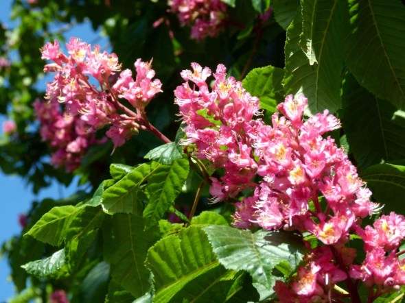Horse Chestnut Tree Flower : Chinese Medicine Living