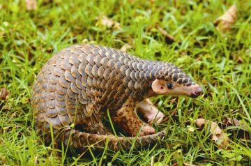 Do You Think Pangolins Are Cute?