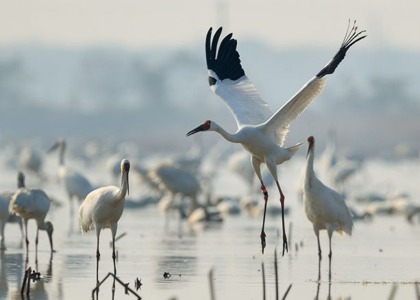 Check Out How Disney is Helping to Reverse the Decline of Siberian Cranes 1