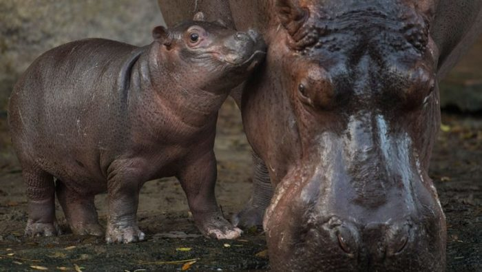 Animal Kingdom's baby hippo