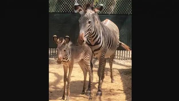 Baby Zebras Born At Animal Kingdom Park 1