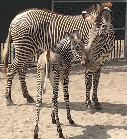 Baby Zebras Born At Animal Kingdom Park 2