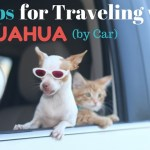 10 Tips for Traveling with a Chihuahua (by Car)