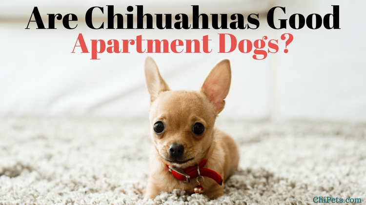 Are Chihuahuas Good Apartment Dogs?