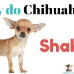 Why Do Chihuahuas Shake?
