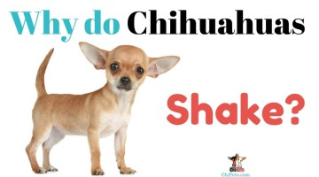 Why Do Chihuahuas Shake?
