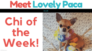 Meet Lovely Paca…Our Chi of the Week!
