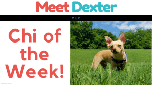 Meet Dexter…Our Chi of the Week!
