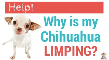 Help!  Why is My Chihuahua Limping?