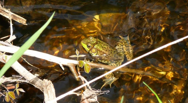 Green Frog at Quigley Creek Natural Area