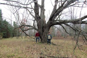 L_Large Maple near center of property