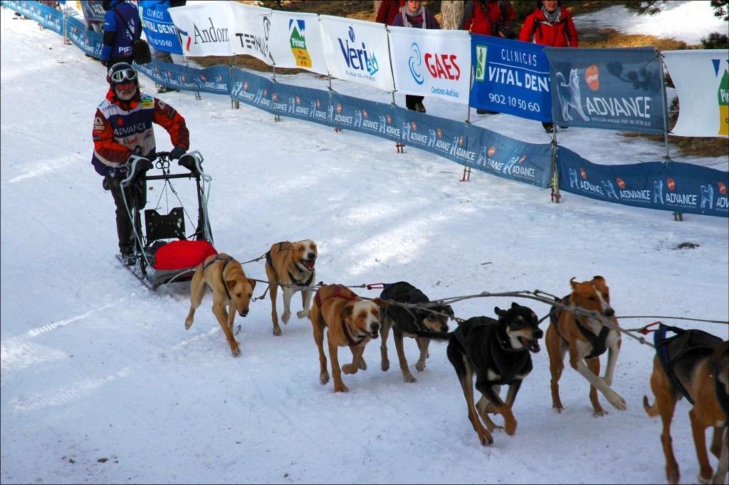 Ein Gespann aus bis zu 14 Hunden zieht den Musher (Schlittenhunde-Führer).